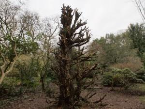 large yew