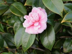 CAMELLIA 'Prestons Rose'