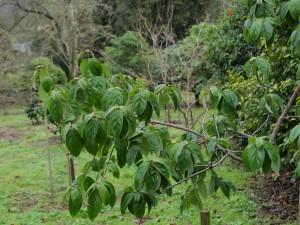 Cornus honkongensis