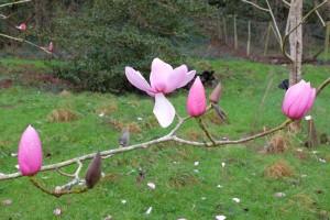 Magnolia campbellii 'Sidbury'