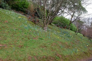 snowdrops interspersed with daffodils