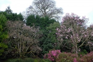 two magnolias out outside the back yard