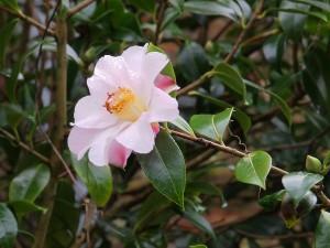 Camellia 'Salutation'