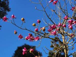 Magnolia 'Lanarth' near the front door