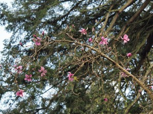 Magnolia spengeri 'Diva'