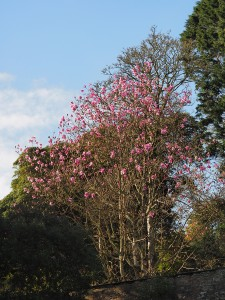 magnolia with some similarities to Caerhays Belle