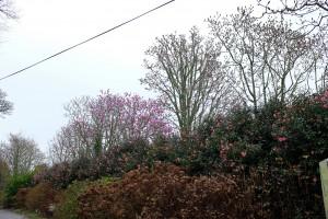 Magnolia mollicomata seedlings
