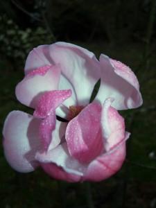 Magnolia sprengeri Diva 'Burncoose'