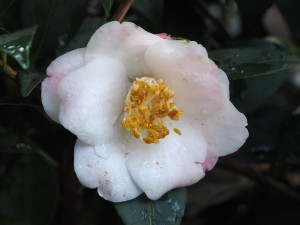 Camellia champetre 'Christmas Daffodil'