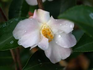 Camellia champetre 'Fairy Blush'