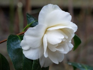 Camellia 'Silver Chalice'