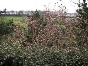 Magnolia 'Caerhays Belle' lookalike