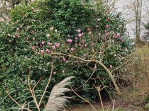 Magnolia 'Red Lion'