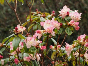Rhododendron 'Bo-Peep' (pink form)