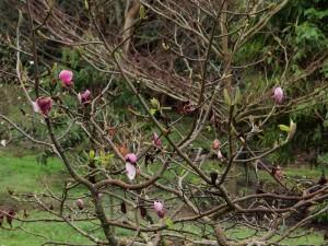 Magnolia 'Todds Forty Niner'