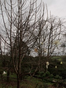 supposedly 'yellow' Magnolia campbellii