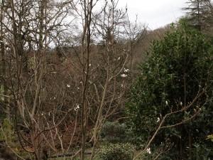Magnolia zenii