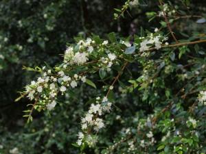 Myrtus lechleriana