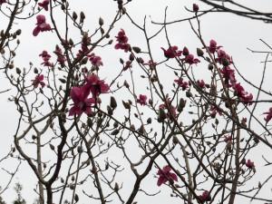 Magnoloa campbellii 'Darjeeling'