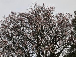 Magnolia campbellii (original whitish form)