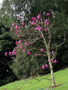 Magnolia 'Lanarth'
