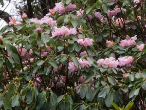 Rhododendron fargesii