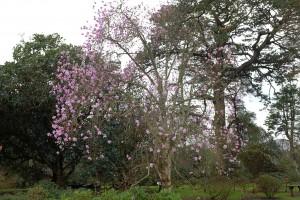unnamed seedling magnolia