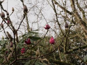 Magnolia 'Ians Red'
