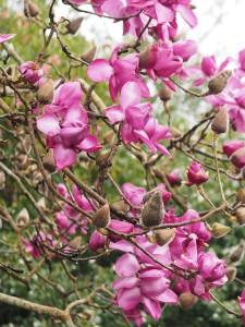 Magnolia 'Lanarth' – the New Zealander form