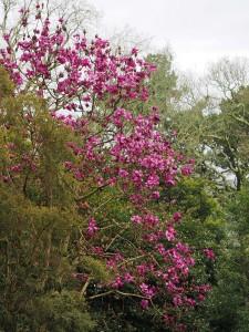 Magnolia 'Lanarth' seedling