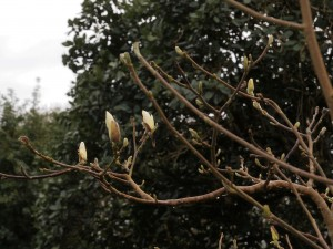 Magnolia 'Pristine'