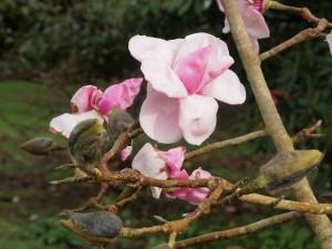 Magnolia 'Suzanna van Veen'