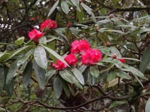 Rhododendron delavayi