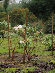 Rhododendron veitchianum Group