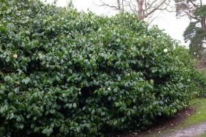 Camellia 'Auburn White'