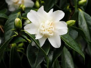 Camellia 'Mary Costa'