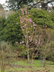 Magnolia mollicomata 'Copeland Court'