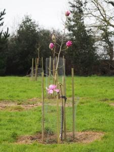 Magnolia mollicomata 'Werrington'