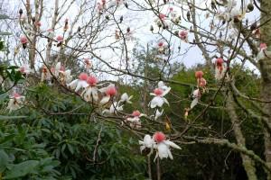 Storm damaged Magnolia campbellii 'Strybling White'