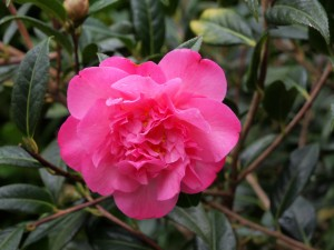Camellia 'Mary-Phoebe Taylor'