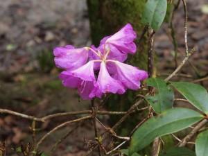 Rhododendron desquamatum