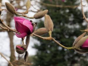 Magnolia 'Mr Julian'