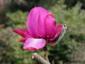 Magnolia 'Caerhays Splendour'