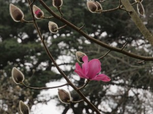 Magnolia 'unknown seedling'