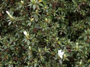 Azalea ledifolium