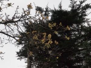 elderly oak tree