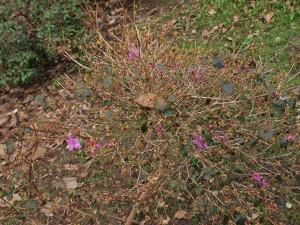 Rhododendron kiyosumense