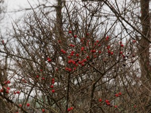 unidentified cotoneaster