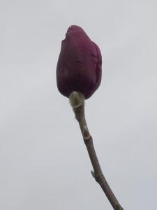 Magnolia 'Purple Sensation'