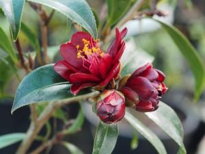 Camellia 'Nightrider'